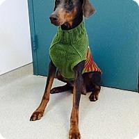 Adopt A Pet :: Piper - New Richmond, OH