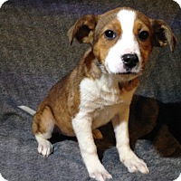 Adopt A Pet :: Sherry - Toledo, OH
