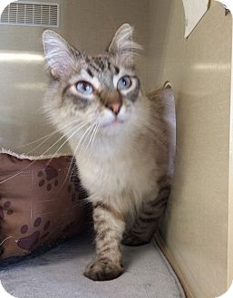 Siamese Cat for adoption in Mission Viejo, California - Lewis and Sylvan