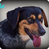 Adopt A Pet :: Bo - Denver, NC