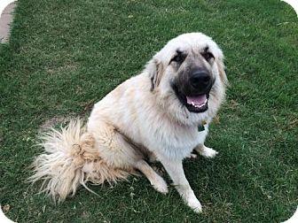 Anatolian Shepherd Dog for adoption in Little, Rock, Arkansas - TEXAS, SEAGOVILLE; **NEEDS FOSTER** 'SOPHIA'