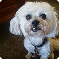 Lhasa Apso/Poodle (Miniature) Mix Dog for adoption in Los Angeles, California - ANNIE