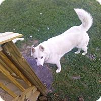 Adopt A Pet :: Snowball - Bristol, VA