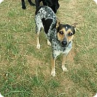 Australian Cattle Dog/Terrier (Unknown Type, Small) Mix Dog for adoption in Heavener, Oklahoma - toka