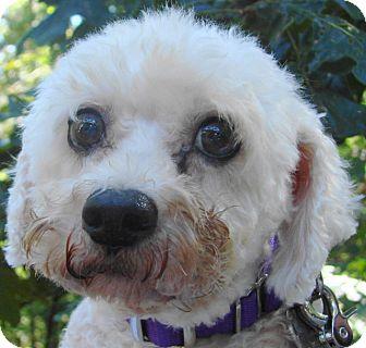Bichon Frise Dog for adoption in St Louis, Missouri - Trevor