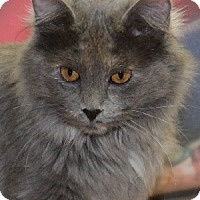 Domestic Mediumhair Cat for adoption in Savannah, Missouri - Rebecca