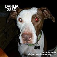 Adopt A Pet :: Dahlia - Spring, TX