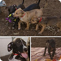 Adopt A Pet :: SADIE'S PUPPIES!! - Phoenix, AZ