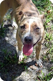Terrier (Unknown Type, Medium)/Pit Bull Terrier Mix Dog for adoption in Bradenton, Florida - Daisy