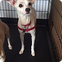 Chihuahua Dog for adoption in Freeport, New York - Harlow