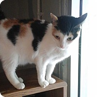 Calico Cat for adoption in Golsboro, North Carolina - MILEY
