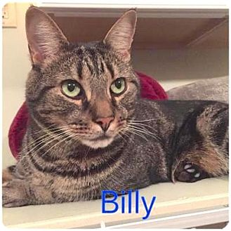 Domestic Shorthair Cat for adoption in Hamilton, New Jersey - BILLY