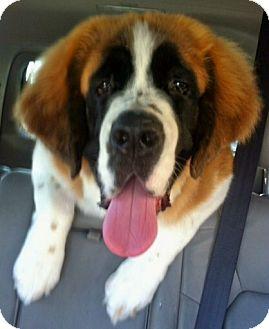 St. Bernard Dog for adoption in Lake Forest, California - Pumpkin