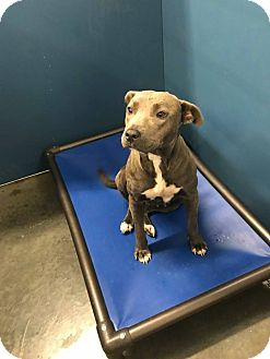 Pit Bull Terrier Mix Puppy for adoption in Henderson, North Carolina - Jenna