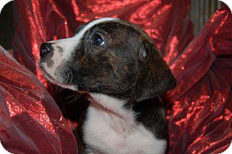 Labrador Retriever/Blue Heeler Mix Puppy for adoption in Lebanon, Tennessee - Tango
