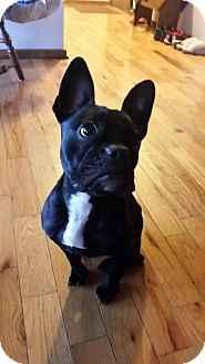 French Bulldog Dog for adoption in Columbus, Ohio - Chloe