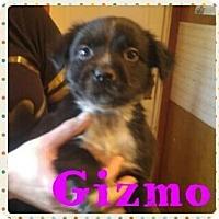 Adopt A Pet :: Gizmo - Wichita Falls, TX