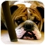 Photo 1 - English Bulldog Dog for adoption in Gilbert, Arizona - Zeke*adoption pending*