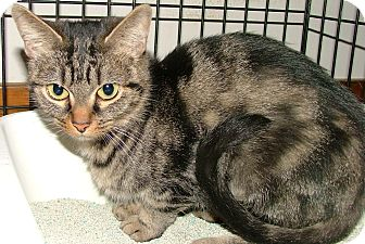 Domestic Shorthair Cat for adoption in Chattanooga, Tennessee - Baskin