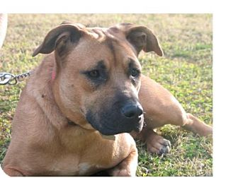 Staffordshire Bull Terrier/German Shepherd Dog Mix Dog for adoption in Phoenix, Arizona - Sheeba