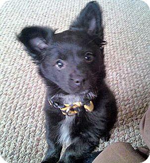 Pomeranian/Chihuahua Mix Puppy for adoption in Brighton, Michigan ...
