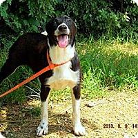 Labrador Retriever/Border Collie Mix Dog for adoption in Oakland, Arkansas - Bambi