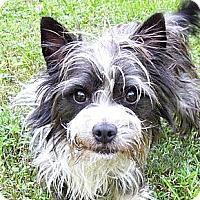 Adopt A Pet :: Samuel - Mocksville, NC