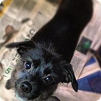 Adopt A Pet :: Gerard - New York, NY