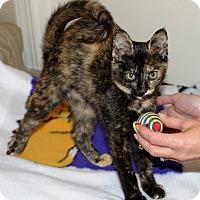 Adopt A Pet :: Ninja - Nolensville, TN