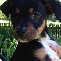 Adopt A Pet :: Ravi - Gainesville, FL