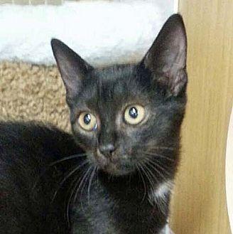 "Domestic Shorthair Kitten for adoption in Brooklyn, New York - Lilliputian ""Lilli"""