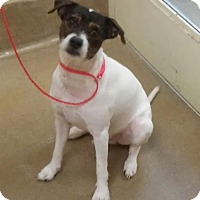 Jack Russell Terrier Mix Dog for adoption in Winchester, Virginia - Jax