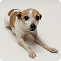Rat Terrier Mix Dog for adoption in Show Low, Arizona - Sparky