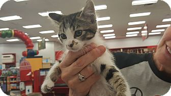 Domestic Shorthair Kitten for adoption in Monrovia, California - Smiley