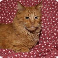 Domestic Longhair Cat for adoption in Rapid City, South Dakota - Raziel