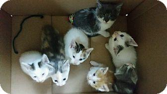 American Shorthair Kitten for adoption in Carey, Ohio - KITTENS!