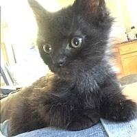 Adopt A Pet :: Versace (bottle fed) - Sterling Hgts, MI