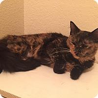 Domestic Mediumhair Cat for adoption in Everett, Washington - Cosette