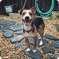 Adopt A Pet :: Brando - Davie, FL