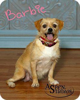 Yorkie, Yorkshire Terrier/Maltese Mix Dog for adoption in Valparaiso, Indiana - Barbie