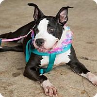 Adopt A Pet :: Motley - Lake Jackson, TX