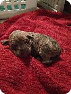 Weimaraner Puppy for adoption in Fayetteville, Arkansas - Yellow(Willow)