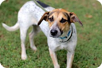 Australian Cattle Dog Mix Dog for adoption in Portland, Maine - DORA