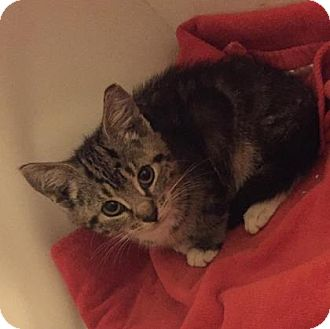 Domestic Shorthair Kitten for adoption in New York, New York - Brita