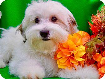 Havanese/Maltese Mix Dog for adoption in Irvine, California - Fallon