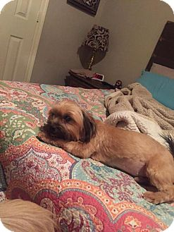 Shih Tzu/Yorkie, Yorkshire Terrier Mix Dog for adoption in Lindale, Texas - Hocus