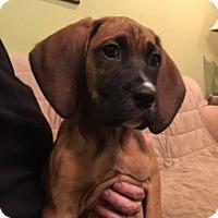 Adopt A Pet :: Jolene - Westport, CT