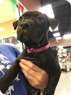 Pit Bull Terrier Mix Dog for adoption in Rochester, New York - Pearl