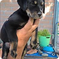 Adopt A Pet :: Bourdeaux - El Paso, TX