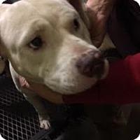 Adopt A Pet :: Baby Girl - Albany, NY